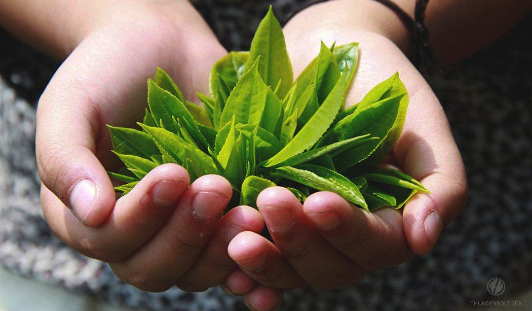 Darjeeling Tea: 12 Expert Tea Facts Guide on Darjeeling