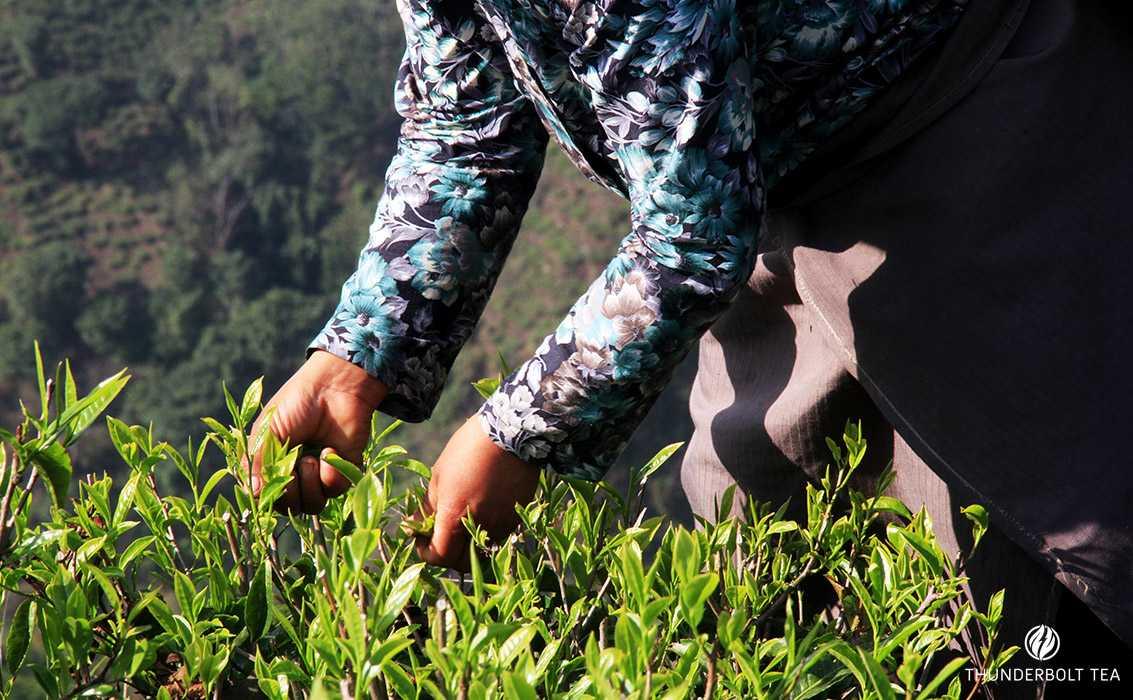 tea plucking process: Darjeeling Tea picking